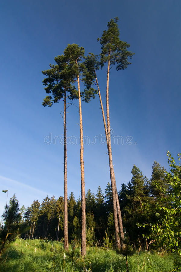 Morning forest and blue sky