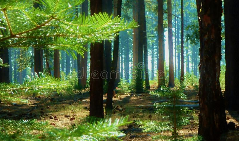Morning Forest stock photography