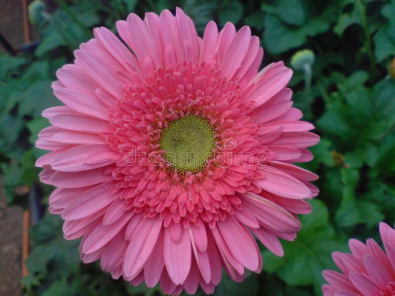 A beautiful full clear pic of pink gerbera flower. A morning fresh full clear and distinct capture of pink gerbera flower royalty free stock photo
