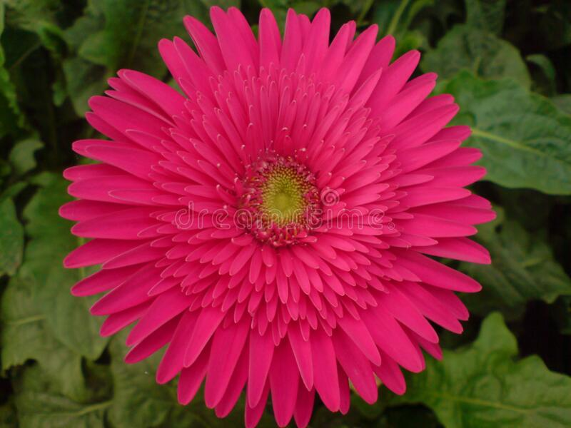 A beautiful full clear pic of pink gerbera flower. A morning fresh full clear and distinct capture of pink gerbera flower stock images