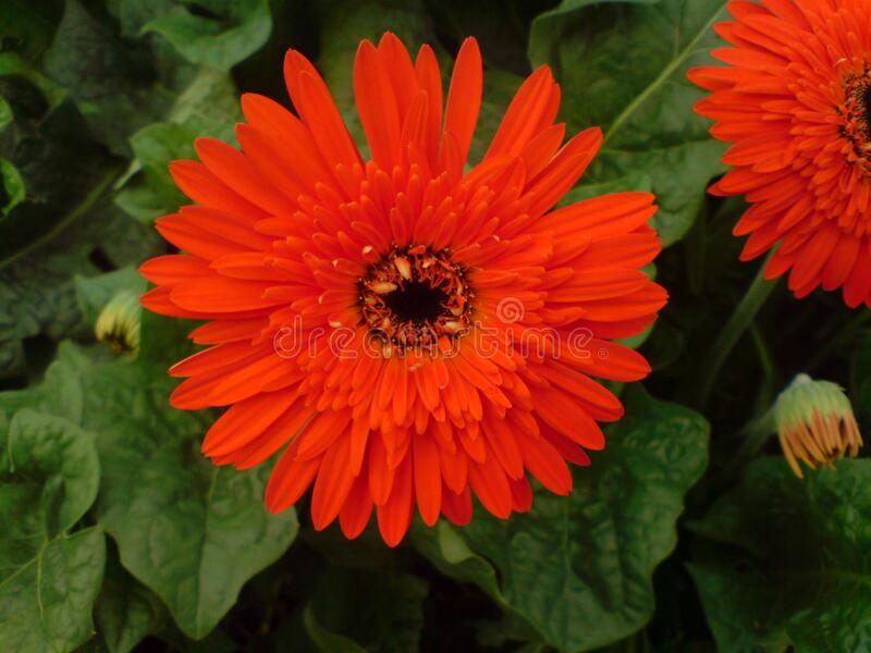 A beautiful full clear pic of red gerbera flower. A morning fresh full clear and distinct capture of red gerbera flower stock image