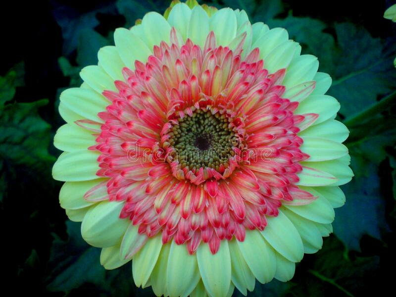 A beautiful full clear pic of yellowish-pink  gerbera flower. A morning fresh full clear and distinct capture of yellowish-pink  gerbera flower stock photography