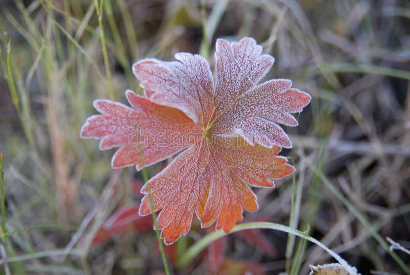Morning frost coverd leaves. Red leaved plant covered in frost with a grassy background royalty free stock photo
