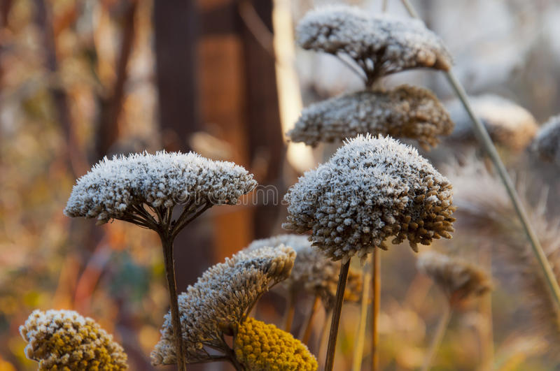 Morning frost on the first yarrow flowers in autumn. Morning frost on the first yarrow flowers in late autumn royalty free stock photography