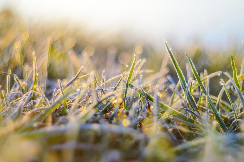 Frost on green grass. Morning frost on green grass in the rays of the rising sun close-up selective focusing royalty free stock images