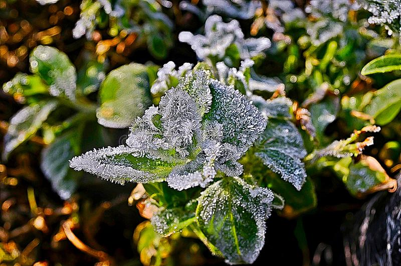 Morning frost on the plants. A cover of minute ice crystals on objects that are exposed to the air. Frost is formed by the same process as dew, except that the royalty free stock photo