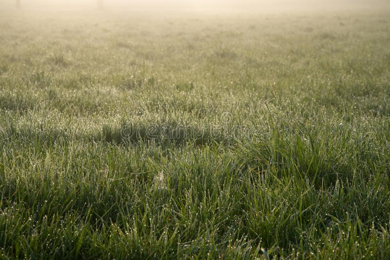 Morning Glade. Green fresh grass is covered with dew. Dawn. Mist envelops the space. The world is waking up. Texture, background, royalty free stock images
