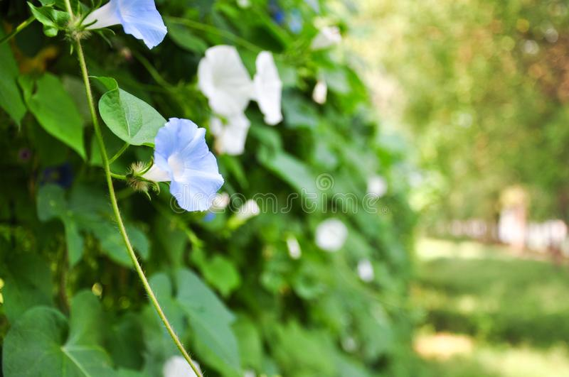 Morning glory flowers. Garden in bloom royalty free stock photos