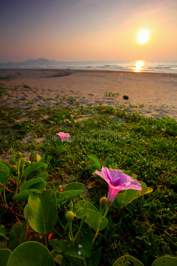 Download Morning glory stock photo. Image of plants, shore, flowers - 25747376