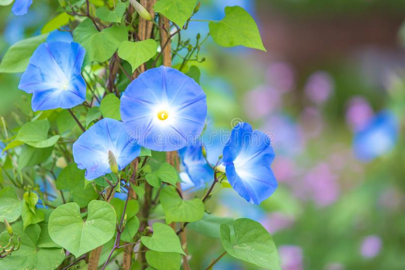 Morning glory in bloom or Blue flower on the bamboo wooden fence wi. Th copy space royalty free stock photos