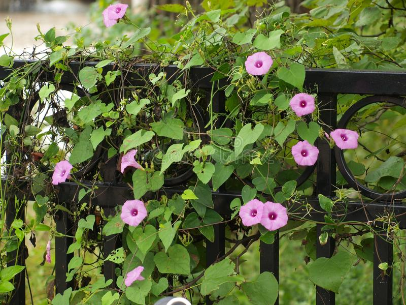 Morning Glory Blooms on an Iron Fence royalty free stock photos
