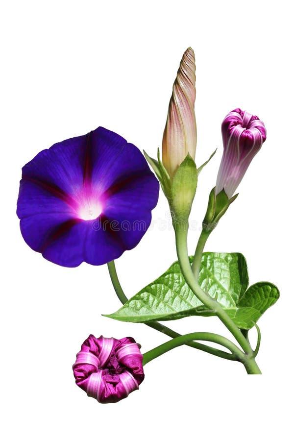 morning glory flower stock image image of floral glory. Black Bedroom Furniture Sets. Home Design Ideas