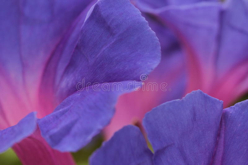 Morning Glory flower petals macro. Macro of the bluish-purple Morning Glory petals with its pale pink central tube. Flora in Australia stock image
