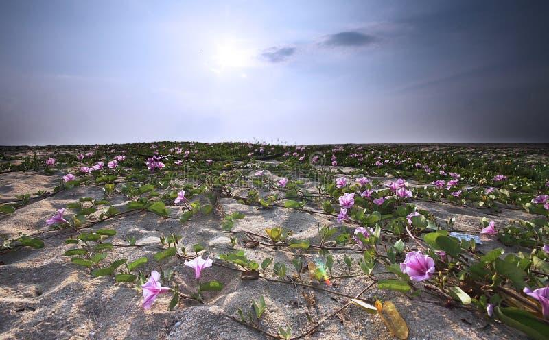 Morning Glory flowers at Batu Buruk beach. Kuala Terengganu, Terengganu, Malaysia royalty free stock photo