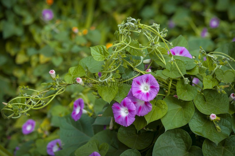 Morning Glory flowers. And green leaves royalty free stock photo