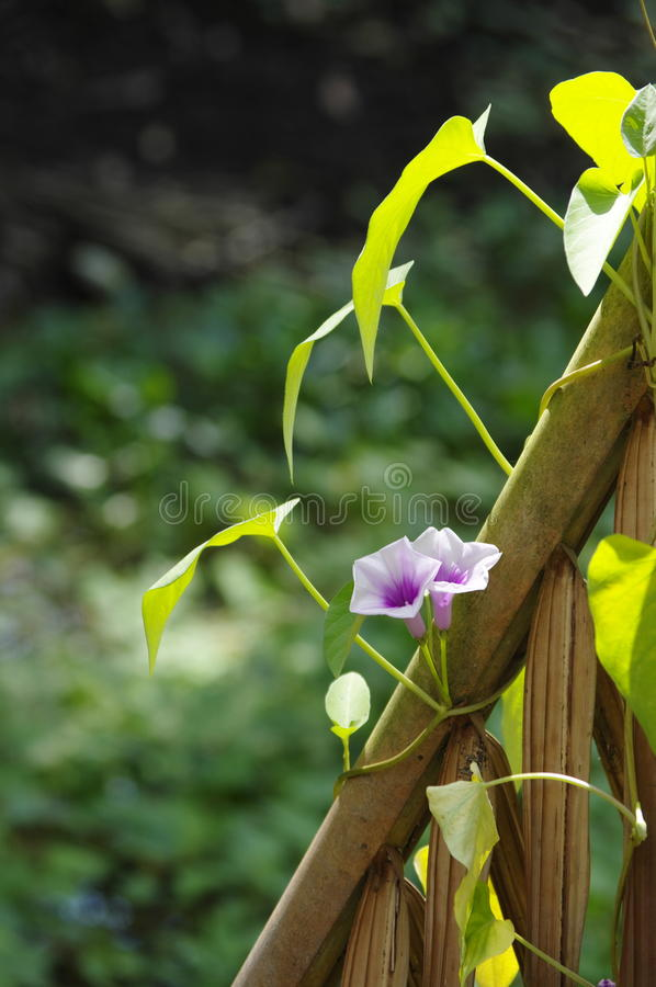 Download Morning glory flowers. stock image. Image of forests - 33687435