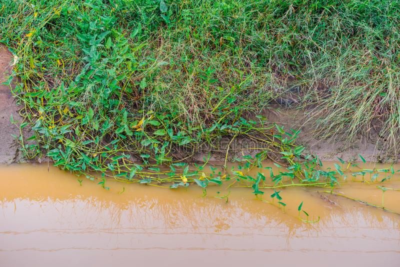 Morning glory that grows simultaneously with grass in irrigation canals. For agriculture royalty free stock photos