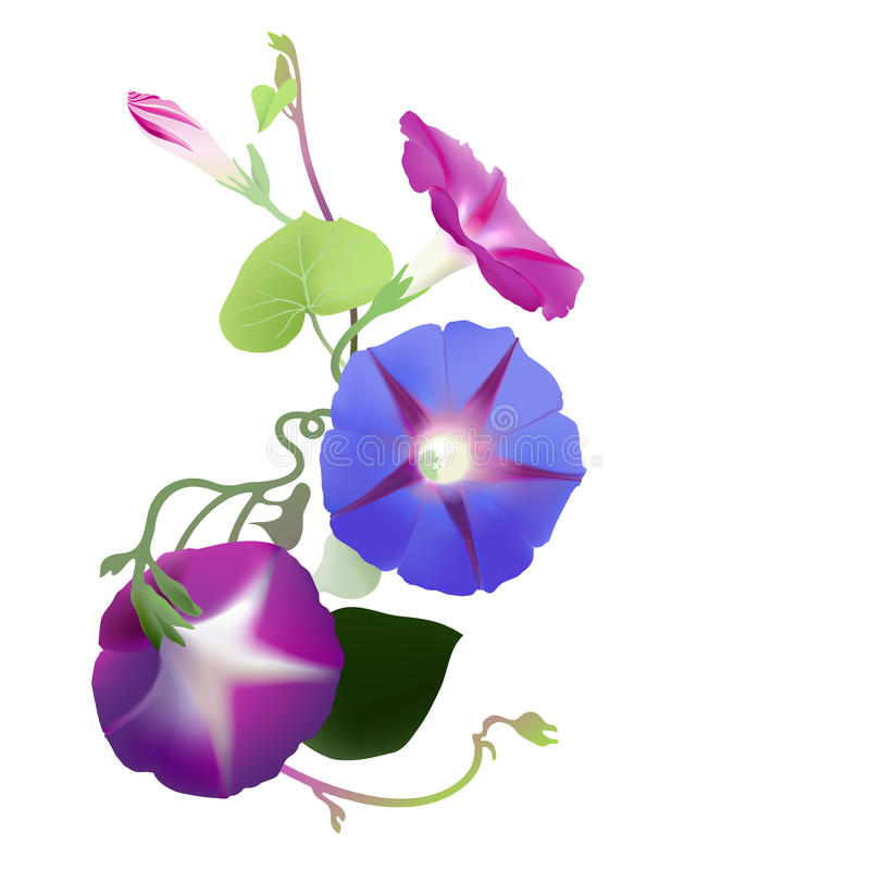 Morning Glory vine in bloom (Ipomoea purpurea). Hand drawn illustration of a cluster of morning glory flowers and twisted vines reaching to the light, on white royalty free illustration