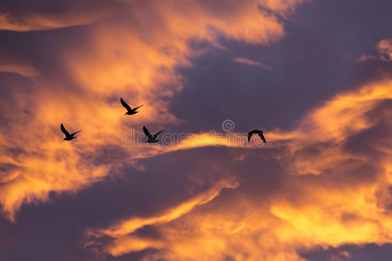 Morning glow and bird. Morning glow, intense golden cloudscape and bird royalty free stock images