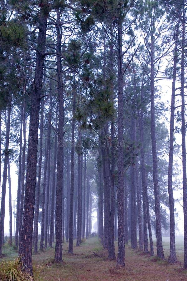 Morning Haze. Between the pine trees royalty free stock photos