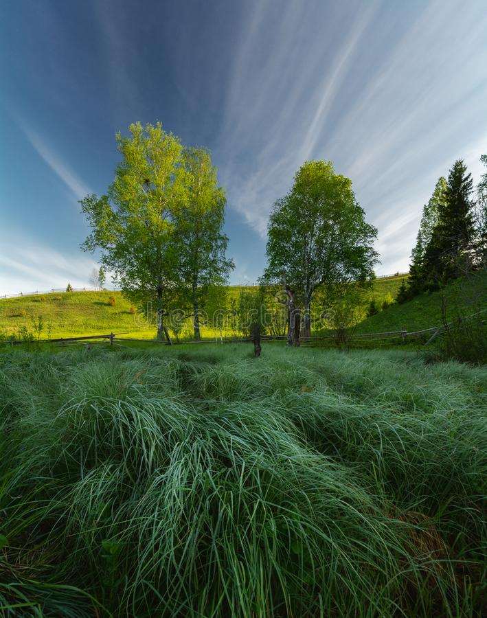 Morning hour. Two trees lit by the dawn sun. In the foreground swamp grass in dew royalty free stock photography