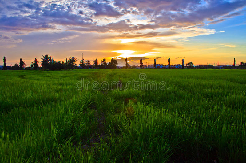 Morning in indonesia paddy field stock photos