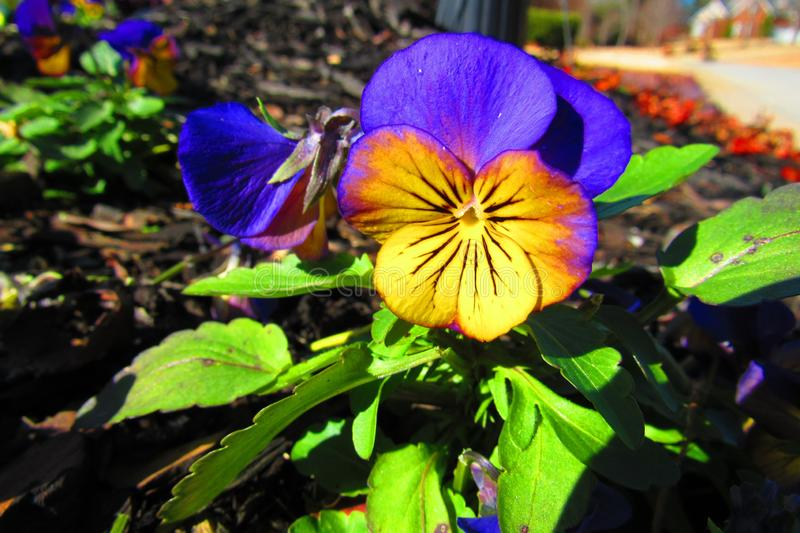 Morning light brightens a yellowish purplish pansy in the morning. Yellowish Reddish Purplish Pansy in the morning light with leafy green foliage in a royalty free stock photo
