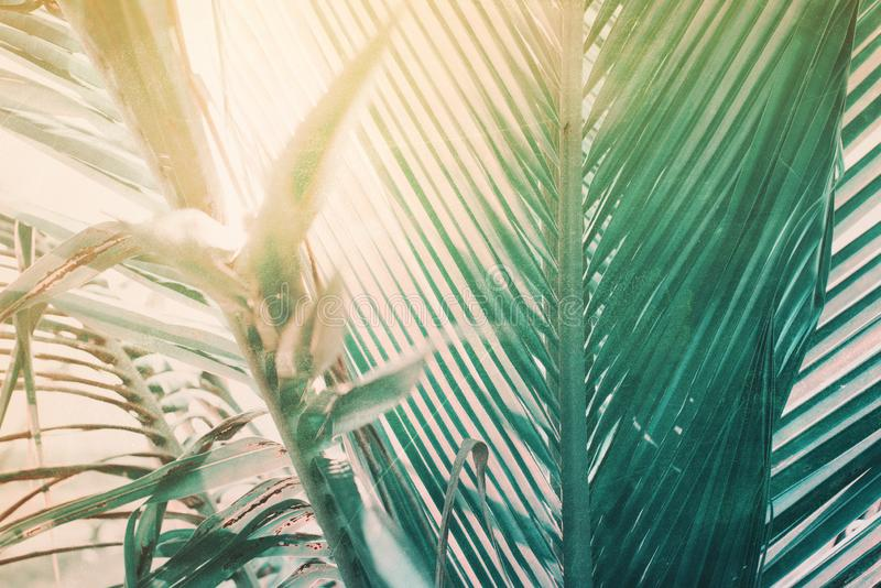 Morning light falls through palm leaf. Exotic tropical. Foliage green pink toned nature background. Landscape garden wallpaper. High resolution. Vintage shabby royalty free stock photos