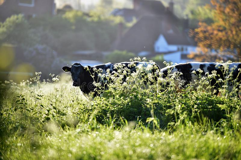 Morning light illuminating the cows in the field royalty free stock image