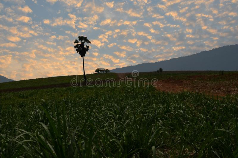 Morning light over sugar cane farm stock images