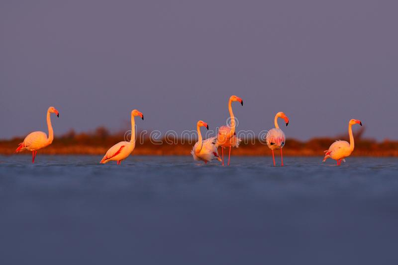 Morning light, sea water. Greater Flamingo, Phoenicopterus ruber, nice pink big bird, animal in the nature habitat, Camargue, Fran stock photos