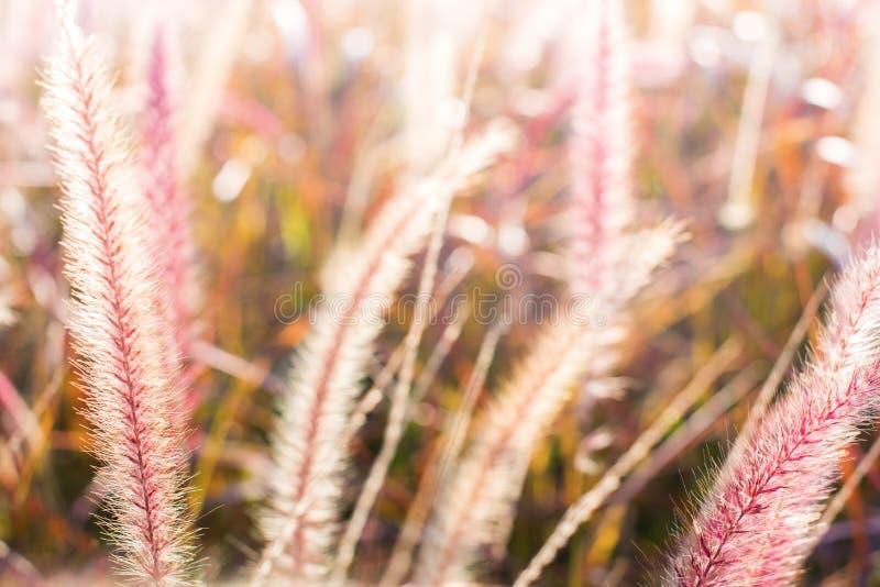 Morning light through summer gentle, fluffy grass. Morning light through summer gentle, fluffy, pink grass bokeh Natural background green yellow colors stock photo
