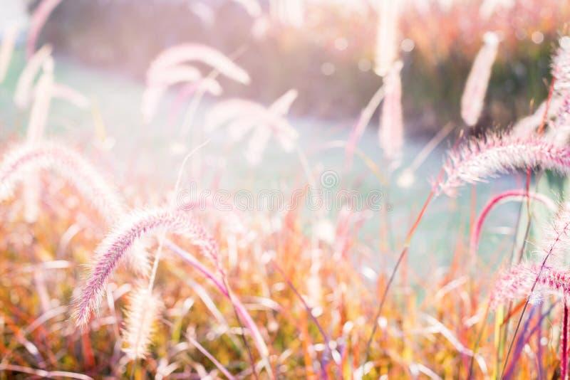 Light through summer grass bokeh Natural background. Morning light through summer gentle, fluffy, pink grass bokeh Natural background green yellow colors stock images