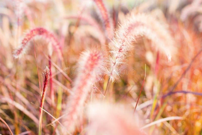 Light through summer grass bokeh Natural background. Morning light through summer gentle, fluffy, pink grass bokeh Natural background green yellow colors stock image
