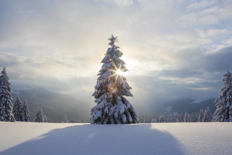 Morning lights. Fantastic winter scenery. Magical pine covered with white fluffy snow. Location the Carpathian Mountains, Ukraine. stock images