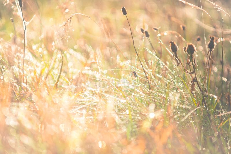 Morning meadow - fresh grass, raindrops, spider webs, sunlight background, nature background royalty free stock images
