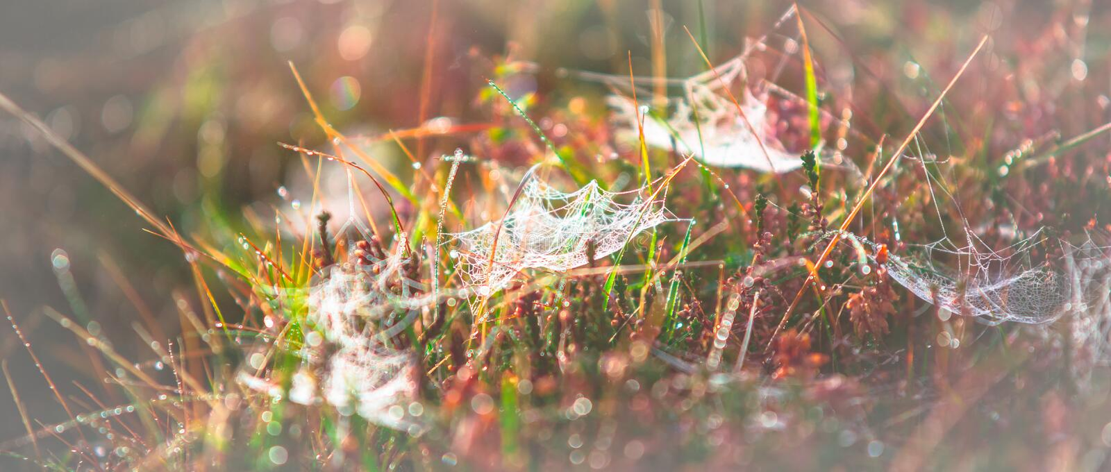 Morning meadow - fresh grass, raindrops, spider webs, sunlight background, nature background stock image
