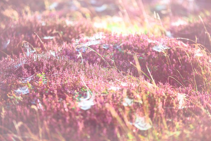 Morning meadow - fresh grass, raindrops, spider webs, sunlight background, nature background royalty free stock photo