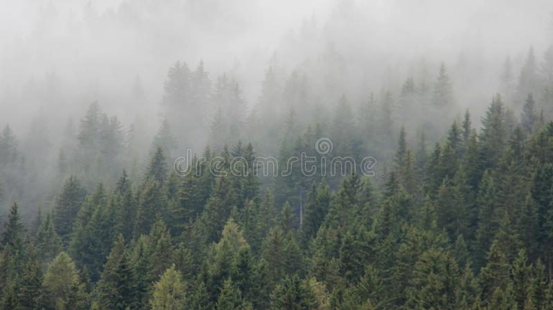 Pine Forest With Pure Morning Mist stock images