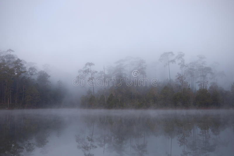 Morning Mist Cover Pine Tree Forest Stock Images