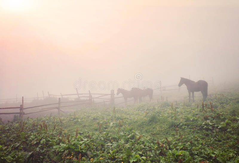 Morning mist with horses royalty free stock image