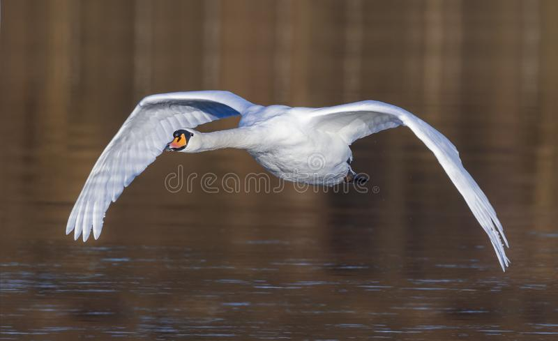 The Morning Mute Flight. A beautiful Mute Swan flying along a river royalty free stock photo