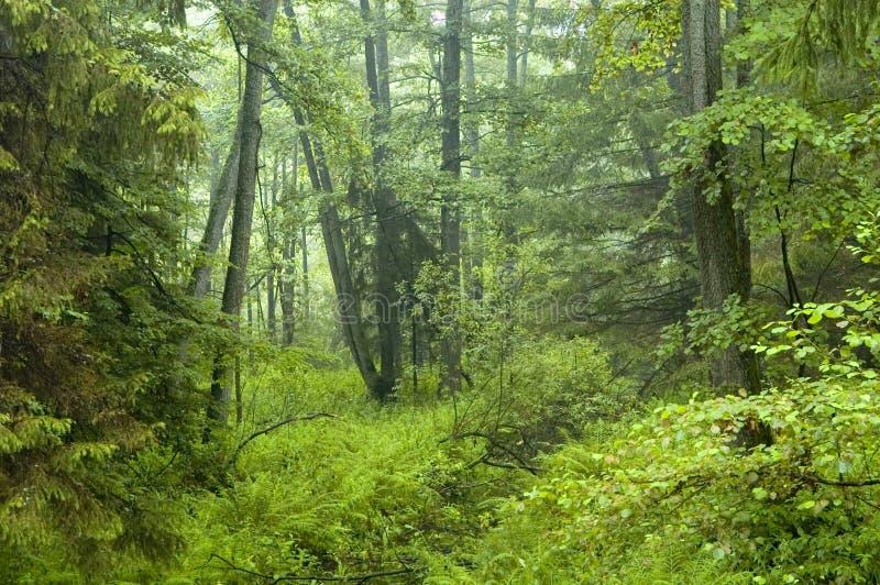 Morning in old alder forest