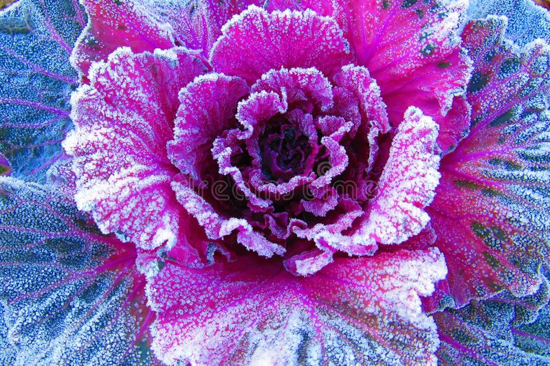 Frost Covered Purple Cabbage in Winter. Morning Photo of frost covered cabbage taken during the morning in winter in a small Georgia town in the United States stock photo
