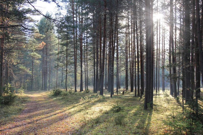 Morning in a pine forest, Russia stock photography