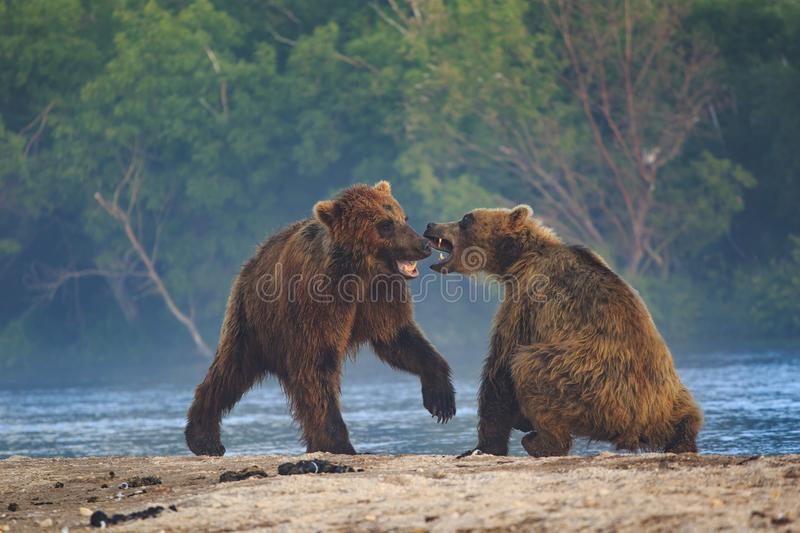 Brown bear cubs playing on a beautiful morning stock images