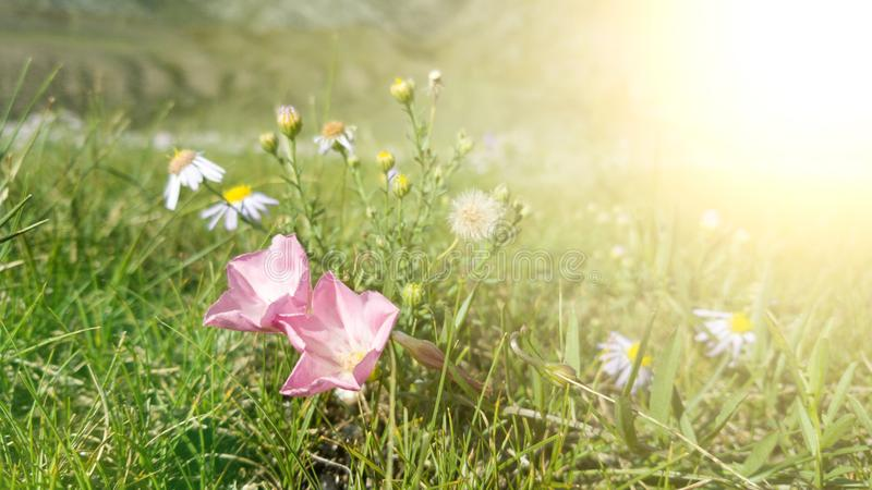 Morning ray of light in the mountains. Alpine wildflowers-pink bindweed and white fragrant daisies stock photo
