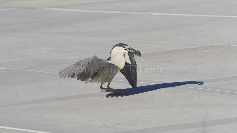 The Morning Red Eyes. Heron, bird, redeyes, eat, fast, fish, wings, feathers, sidewalk, catcher, shadow, prey, southwest, arizona, vgphotoy, vgphotoz, fun stock photos
