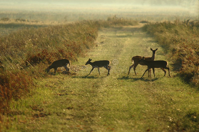 Download Morning Route stock photo. Image of fawn, path, instinct - 2320400
