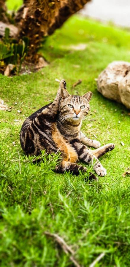 Morning routine of a cat. Mammal, kitten, grass, park, green, leg, animal, eyes, outdoor, close, wildlife, domestic, stripes, paws, pet stock photo